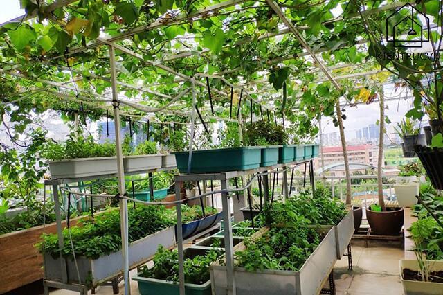Một vườn rau trái trên nóc nhà xanh mướt quanh năm