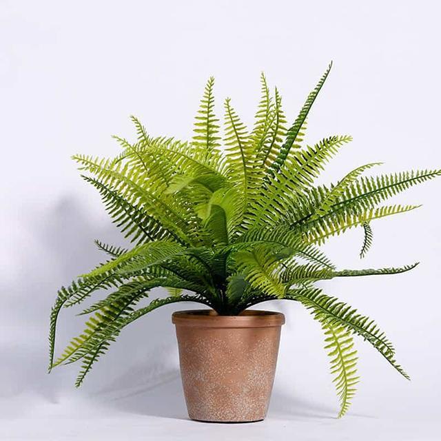 Cây dương xỉ dễ trồng dễ chăm lọc không khí cực hay
