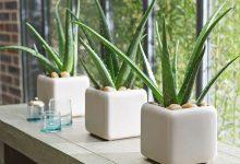 Những chậu cây nha đam không những thanh lọc không khí tốt mà rất hợp để decor