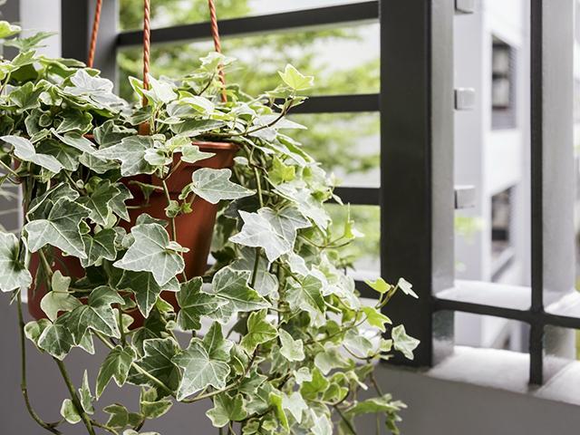 Những chậu dây thường xuân trồng cạnh cửa sổ cực hay